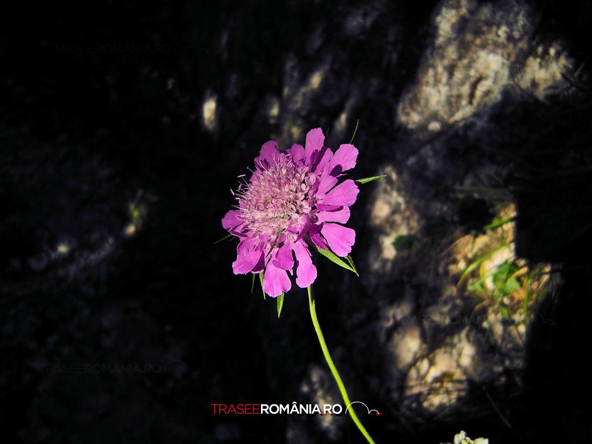 Garofita Pietrei Craiului - specie endemica
