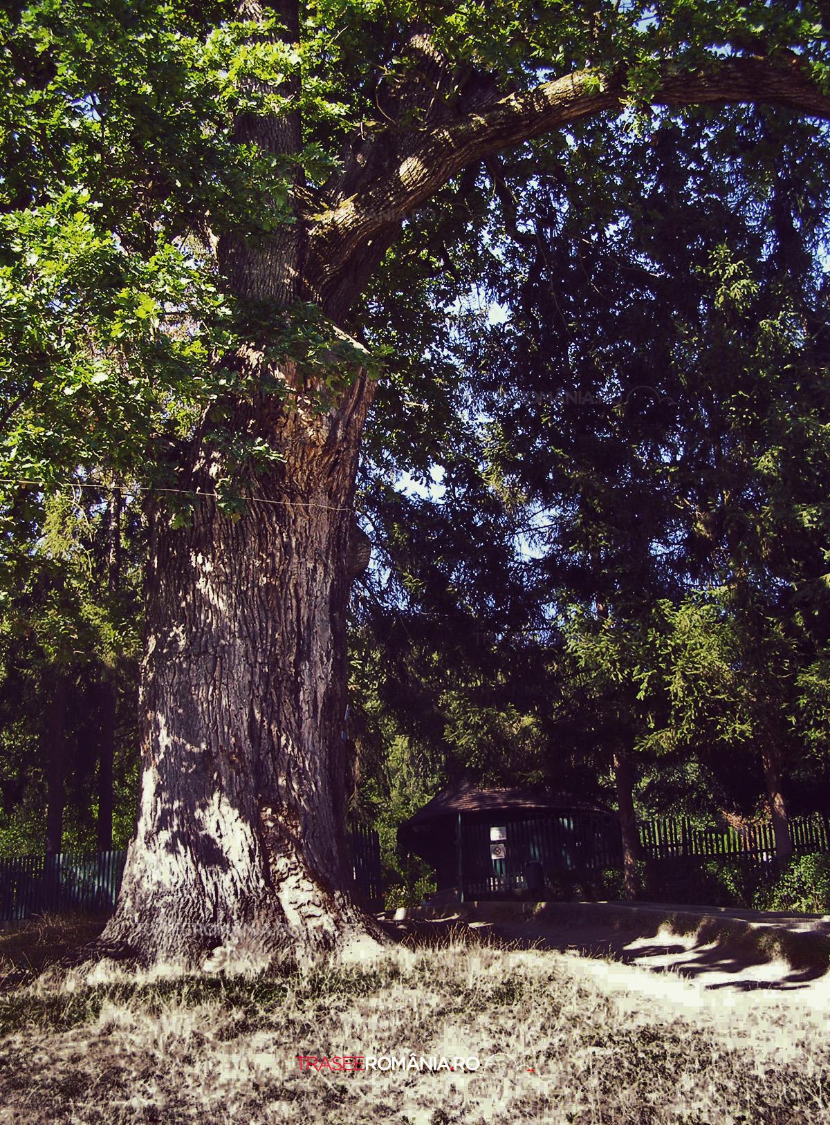 Stejarii seculari de la Manastirea dintr-un Lemn Valcea