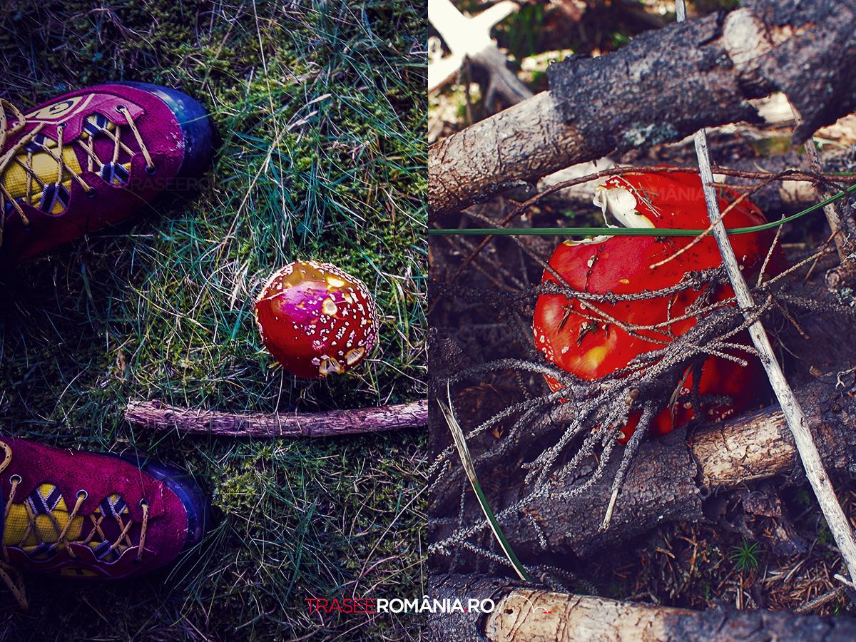 Ciuperci rosii din padurile Romaniei