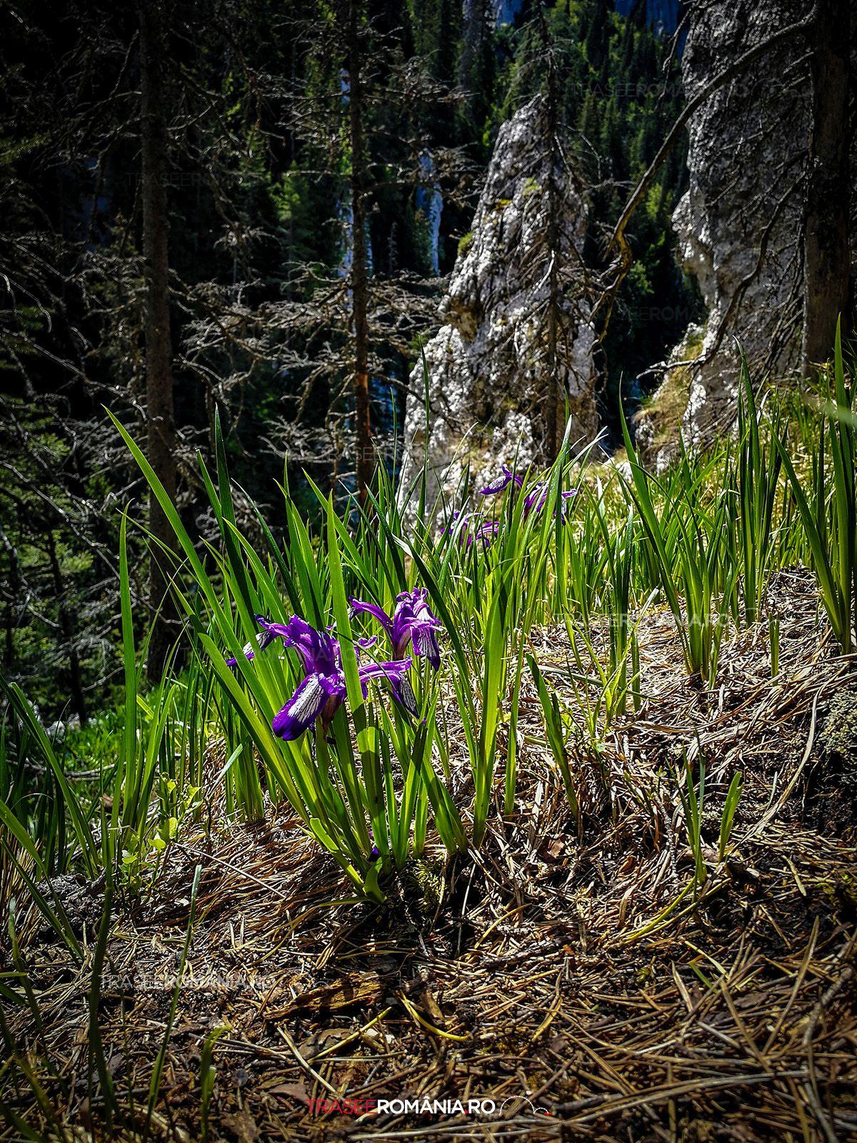 Flori specii endemice Muntii Piatra Craiului